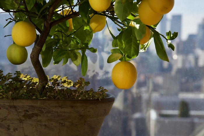 How to care for a lemon tree?