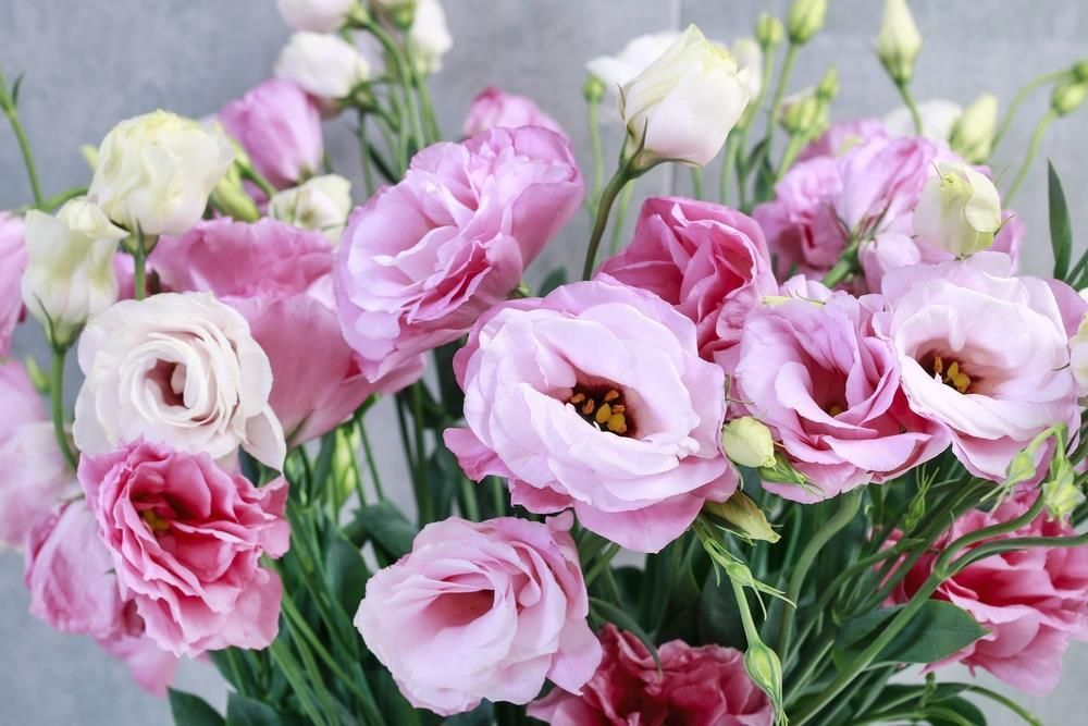 How to care for the lisianthus plant