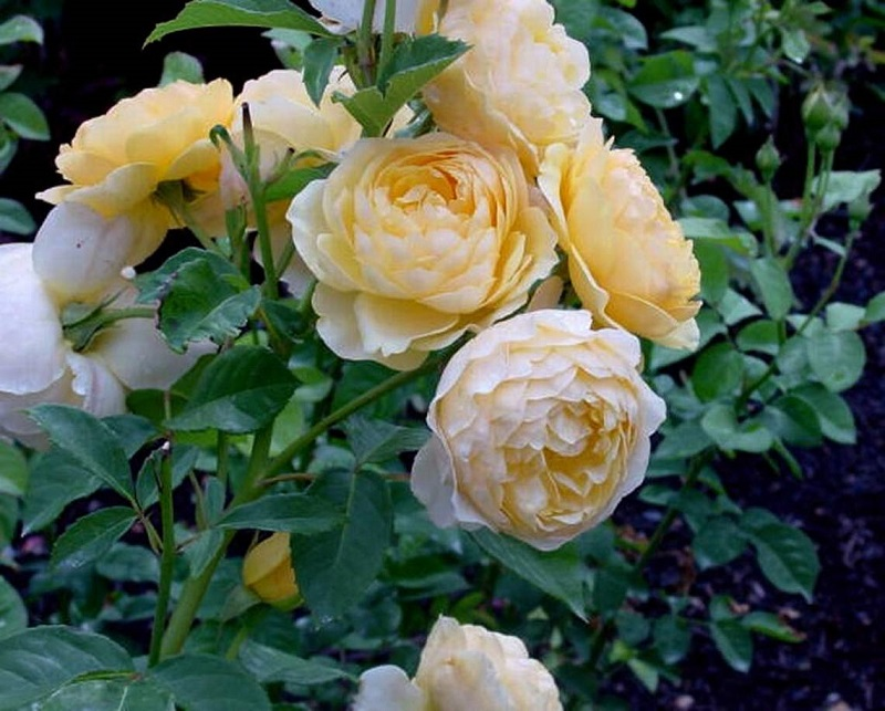 healthy roses