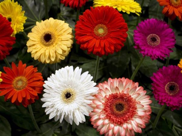 Gerbera plant care: How to do it