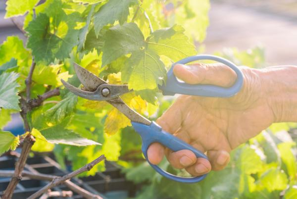 How to prune a grape vine