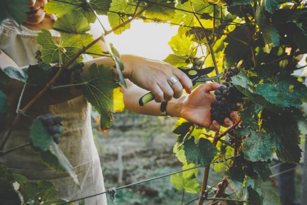 How to prune a grape vine? Step by step guideline
