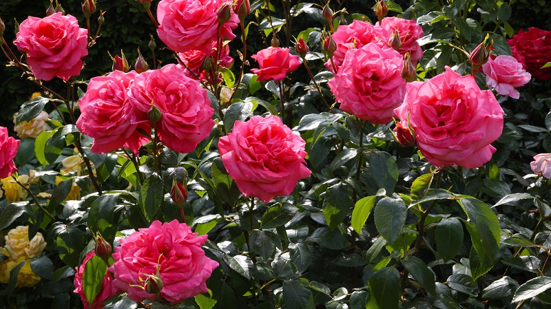 6 steps to have healthy roses