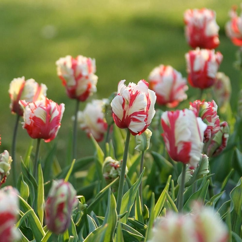 Types of tulips