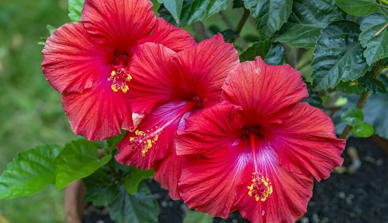 How to grow hibiscus in the garden