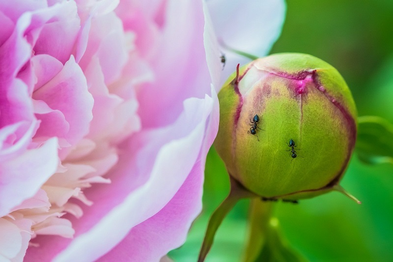 remove ants from peonies