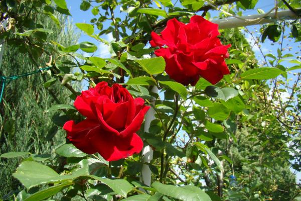 plants with red flowers