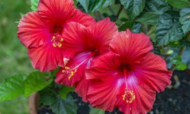 How to grow hibiscus in the garden